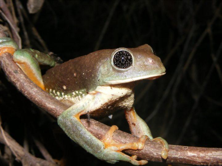 Anfibios Michoacanos