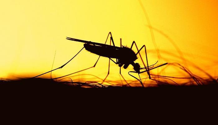 Mosquitos transmisores.