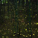 Bosque-de-bambus-plagado-de-luciernagas