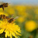 abejas-polinización-Michoacán
