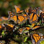 mariposa_monarca-1160x700