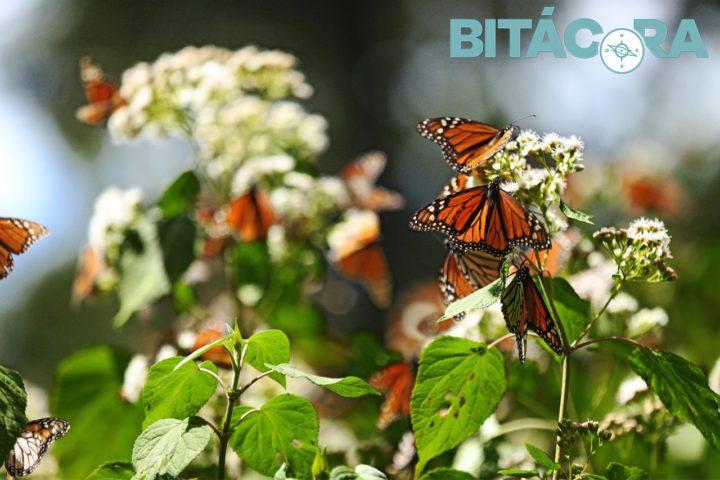 Apertura de los Santuarios de las Mariposas Monarcas
