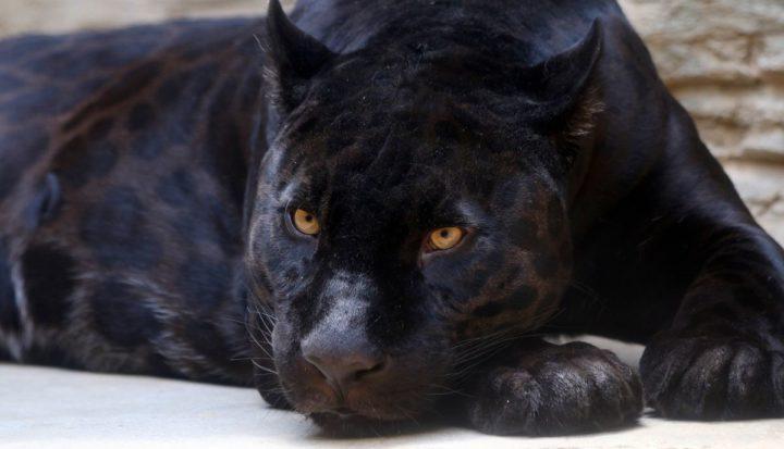 Jaguares Melánicos en el Zoológico de Morelia