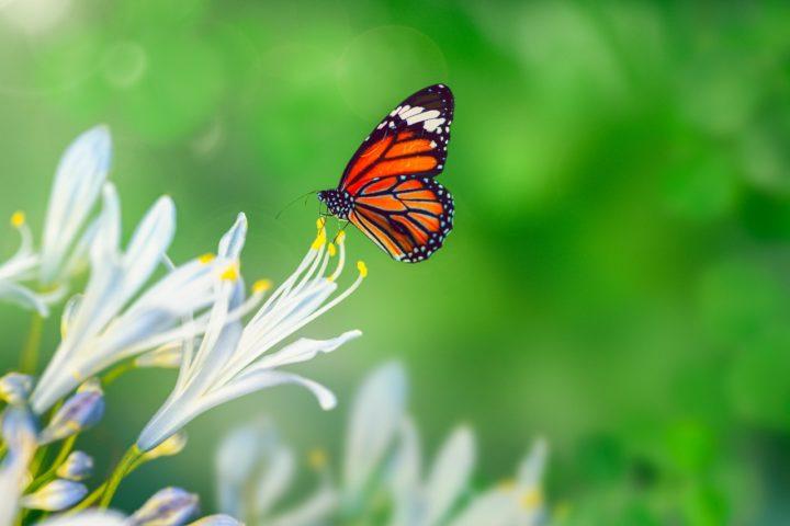 Dos Colonias de Mariposas Monarca en Michoacán