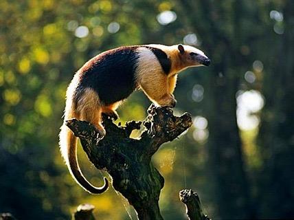 Animales Silvestres de Michoacán